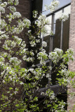 Bradford Pear Tree in Bloom