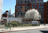 NYU Dormitory , Vest Pocket Park - Pear Tree in Bloom