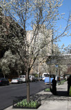 West View from Broadway - Pear Trees in Bloom