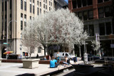 NYU Gould Plaza & Pear Tree Blossoms