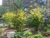 Kerria Bush Yellow Blossoms