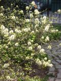 Fothergilla Bush Blossoms
