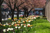 Tulip & Cherry Tree Gardens at Bleecker & Mercer Streets