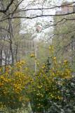 Playground Garden - Kerria Bushes in Bloom