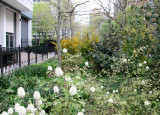 White Fothergilla & Yellow Kerria Bush Blossoms