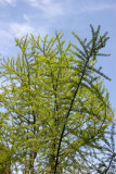 Ginkgo Treel - New Foliage