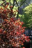 Garden View - Red Prunus Foliage