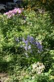 Garden View - Columbine, Bluebells, Azaleas...
