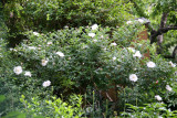 Garden View - Henry Hudson Rose Bush