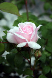French Lace Rose Bud