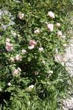 Morden Blush & Eglantyne Rose Bushs