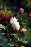 Garden View - French Lace Rose