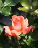 Citrus Tease Rose
