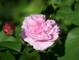 Catherine Guillot Roses