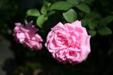 Bella Dona Roses