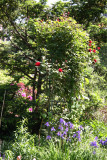Don Juan Rose Arbor & Siberian Iris