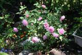 Hermosa Rose Bush