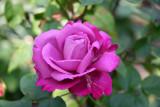 Angel Face or Heirloom Lavender Rose