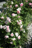 Morden Blush & Eglantyne Rose Bushes