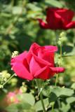 Chrysler Roses