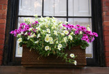 Petunia Flower Box Garden