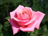 Fragrant Hour Rose