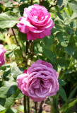 Angel Face Roses