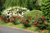 Garden View - Lost Red Roses & White Rhododendron Bushes