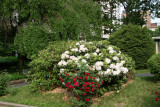 Roses & Rhododendron