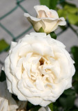 French Lace Roses