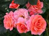 Citrus Tease Roses