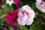 Foliated Petunias - Sidewalk Garden