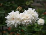Crown Princess Victoria Roses
