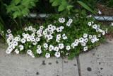 Sidewalk Petunias