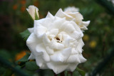 French Lace Rose