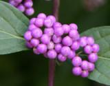 Callicarpa - Beauty Berry
