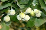 Ginkgo Fruit