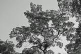 Black Locust Tree Foliage - B&W Version