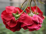 Don Juan Rose Bouquet - Backside
