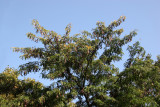 Locust Tree Foliage with Seed Pods