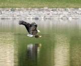 Arizona Bald Eagles