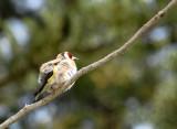 Euopean Gold Finch