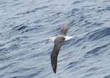 Whitecapped Albatross