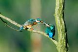 Kingfisher feeding