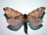 Madawaska Co.NB Papillons - Moths & Butterflies