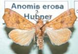 930602 (8545) Anomis erosa  - Tres rare/migrateur