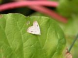 930592 (8404) Rivula propinqualis - Spotted Grass Moth