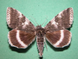 930795 (8803) Catocala relicta - Likenee blanc