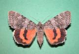 930806 (8821) Catocala semirelicta