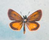 Hesperioidea - 3864 TO 4152
